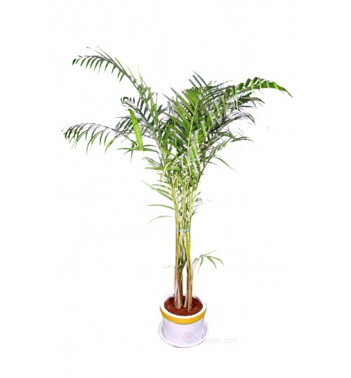Areca Palm Indoor Plant Medium Bush 4/5 Feet With Golden White Planter